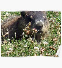 Groundhog, Montreal Poster