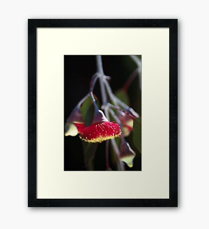 Red and Yellow Eucalyptus Flowers Framed Print