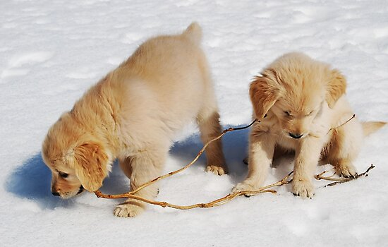 Golden Retriever Puppies First Winter #2 by Laurie Minor