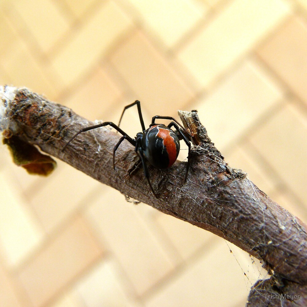 Where to Now ... Redback Spider : Latrodectus hasselti by Trish Meyer