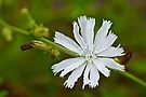 White Chicory  Rare Color Phase   Cichorium intybus by MotherNature