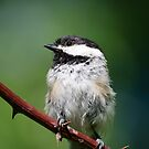 Young Chickadee by awcreations765