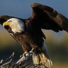 Regal Eagle! by jozi1