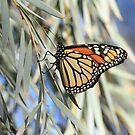 The Monarch butterfly by robmac