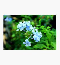 Macro Blue Flowers Photographic Print