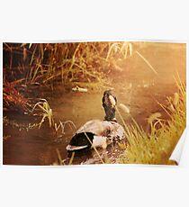 Duck Swimming Down Stream Sunshine Poster