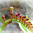 The dragon-fly returned by Sue Purveur