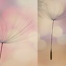 Dandelion Diptych #1 by Ursula Rodgers Photography