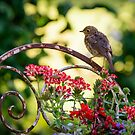 Young robin on a rusty chair by Andrew Jones