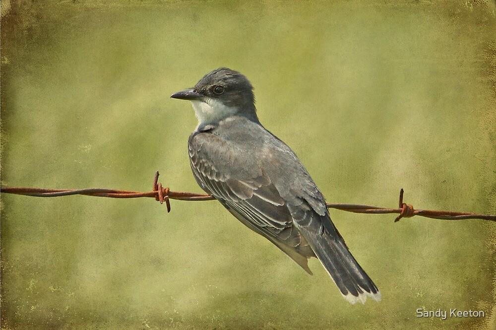 Eastern Kingbird by Sandy Keeton