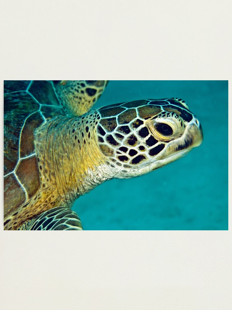 Alternate view of Green sea turtle portrait Photographic Print