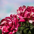 2 Variegated Roses by RGKphotos