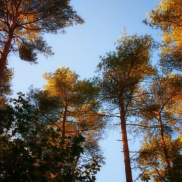 Tallest Trees by InspiraImage