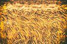 Wheat by Nigel Bangert