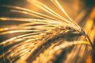 Wheat Ear by Nigel Bangert
