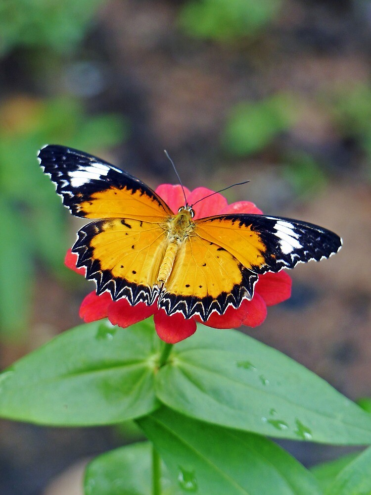 Tiger Butterfly by DarthIndy