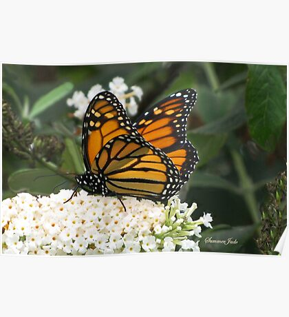 A Monarch on a Buddleia Blossom Poster