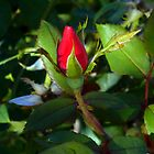 Red Rose Highlighted by WildestArt
