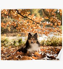 Sheltie Dog Poster