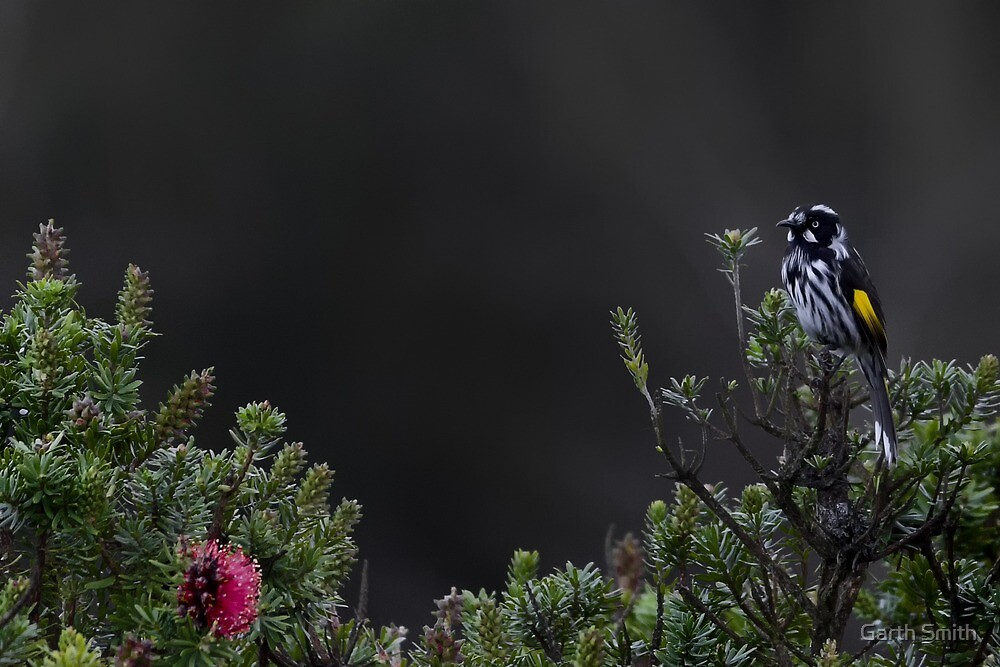 New Holland Honeyeater  by Garth Smith