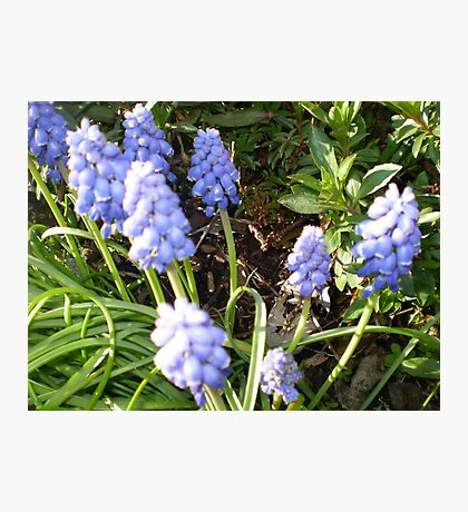 Grape Hyacinth -make a good border Photographic Print