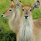 THE YOUNG ONES - THE WATERBUCK - Kobus ellipsiprymnus by Magriet Meintjes