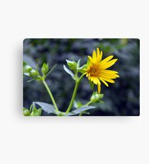Beautiful sunny yellow flower macro. Canvas Print