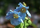 Blue Poppies by AnnDixon