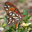 Gulf fritillary butterfly sideview by Anthony Goldman
