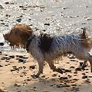 Jack Russell on Beach with Ball in Mouth by Kawka