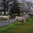 Cows Crossing the Street by Sean Paulson