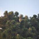 An Owl, Resting in the Pines by Sean Paulson