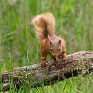Red Squirrel by M S Photography/Art