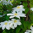White Clematis, New Zealand. by johnrf