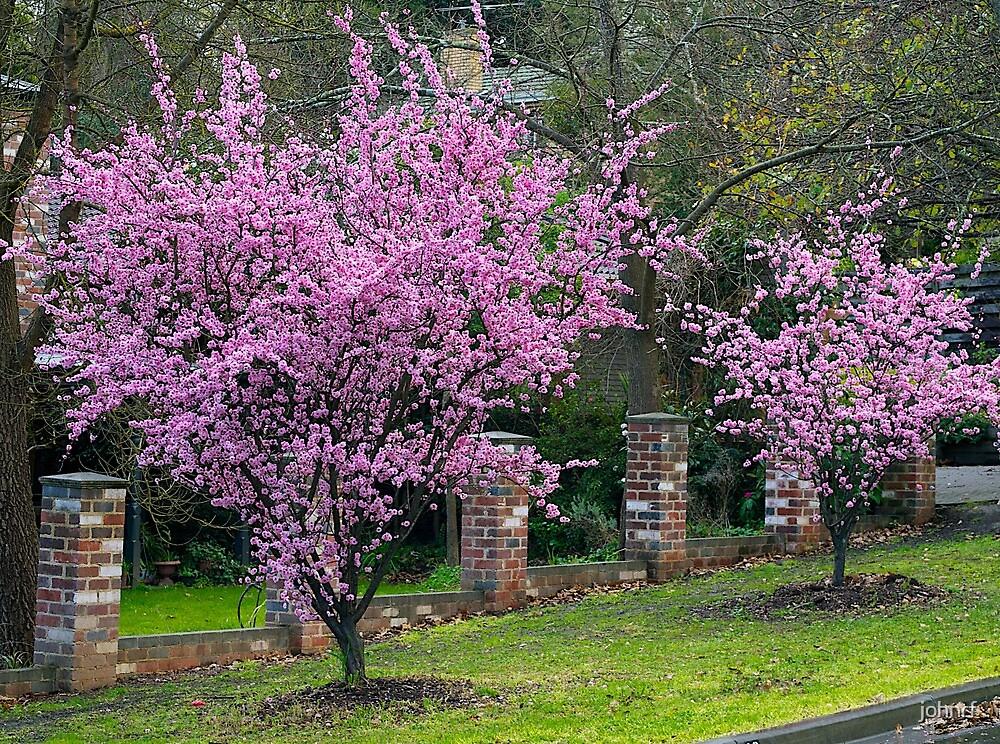 Quot Spring Blossom Flowering Almond Trees Berwick