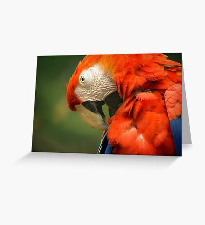 Red Parrot, the Scarlet Macaw – portrait Greeting Card