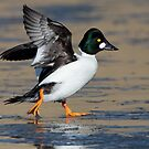 Flap of a Goldeneye by ruth  jolly