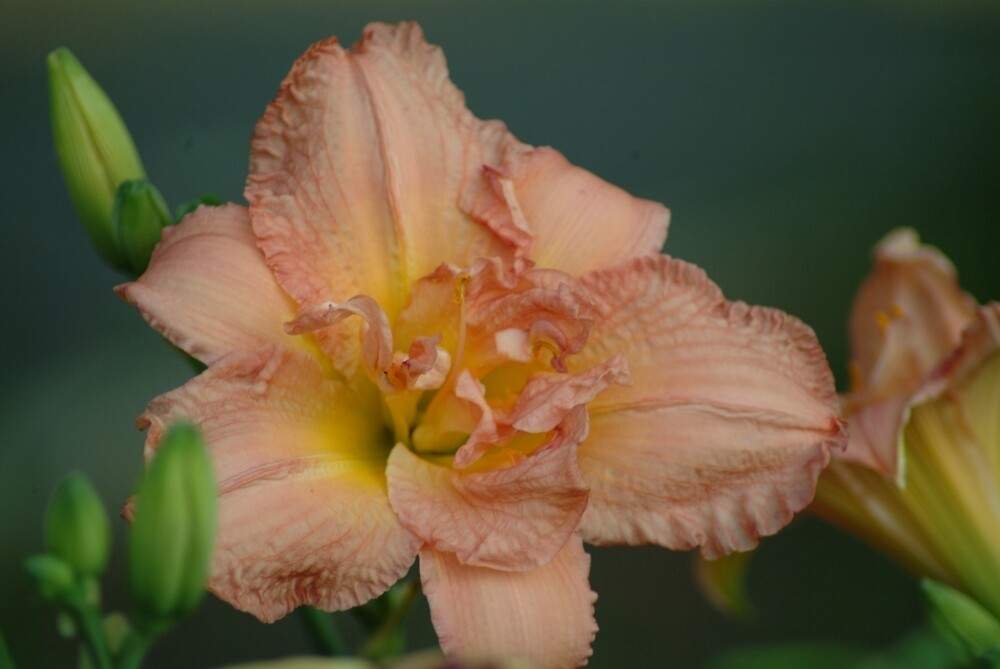 Just Peachy by Shellie Hill