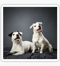 Jack Russell terrier puppy and female Sticker