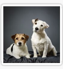 Jack Russell terrier male and female Sticker