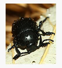 Bloody nose beetle in the rain. Photographic Print