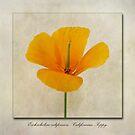 Eschscholzia californica  Californian Poppy by John Edwards