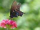 Pipevine Swallowtail by FrankieCat