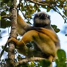A diademed sifaka-Lemur by Fidisoa Rasambainarivo
