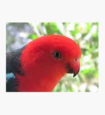 Percy the King Parrot Photographic Print