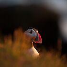 Puffin, Vestmannaeyjar by Erland Howden