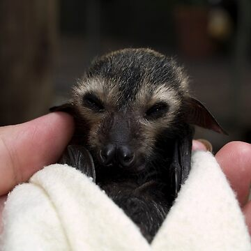 Baby Flying Fox - Bat Reach Centre - Kuranda - Queensland - Australia by slim6y
