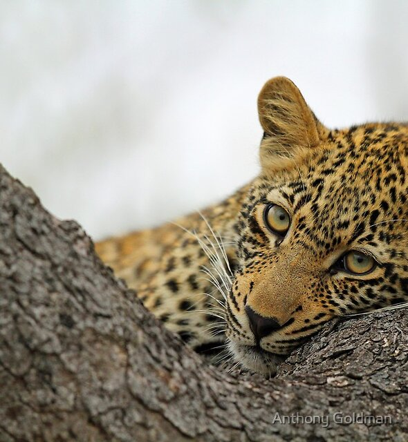 A classic leopard pose by Anthony Goldman
