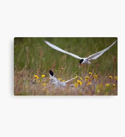 Arctic terns, Eastern Iceland Canvas Print