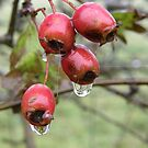 Dew on the Berries by mikequigley